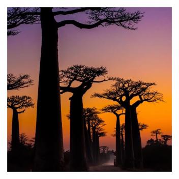 Exotique et majestueux ... Le baobab est l'arbre de vie de l'Afrique ✨ • • • Exotic and majestic ... The baobab tree is the symbol of life in Africa ✨
