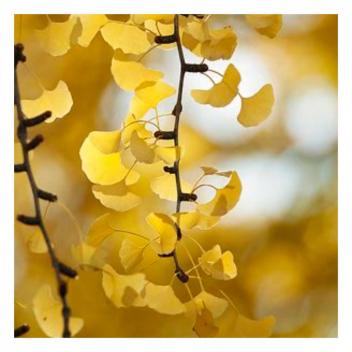 Un petit air de Japon avec cette merveilleuse couleur or dont se parent les ginkgo biloba.🏮 • • •  Japanese vibe! with this marvellous gold color of which the ginkgo biloba are adorned.🏮