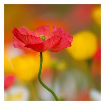 Le saviez-vous? Les noces de coquelicot symbolisent les 8 ans de mariage 🎊 • • • Did you know? Poppy weddings symbolise 8 years of marriage🎊